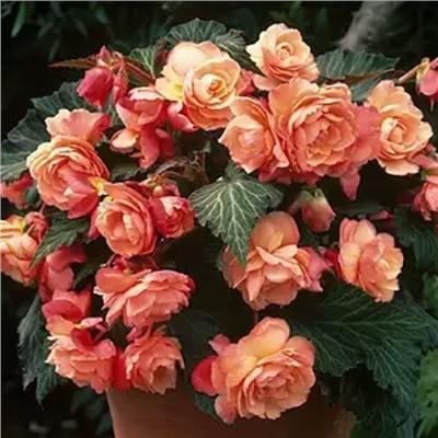 Ароматная бегония Just Peachy купить, отзывы, фото, доставка - sp-garden.ru cовместные покупки для сада
