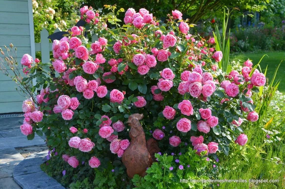 например этих роза леонардо да винчи фото описание раз вовка