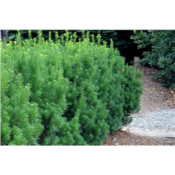 Тисс	Taxus media	Hicksii