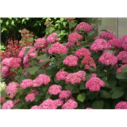 Hydrangea	arb. Invinciblle®  Pink Annabelle PBR