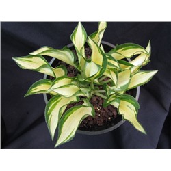 Хоста Раффлд Поул Маус (Hosta Ruffled Pole Mouse) NEW