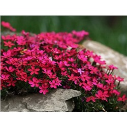 Флокс Phlox Red Wings (S) р9- 2шт
