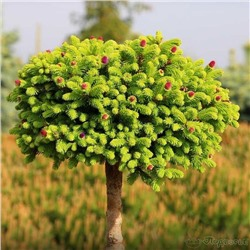 Picea (Ель) abies Wild Strawberry C5 PA 80-100 d 20-30