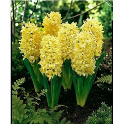 Hyacinth Yellowstone   5 шт