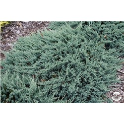 Juniperus horizontalis	Blue Chip (Blue Moon)