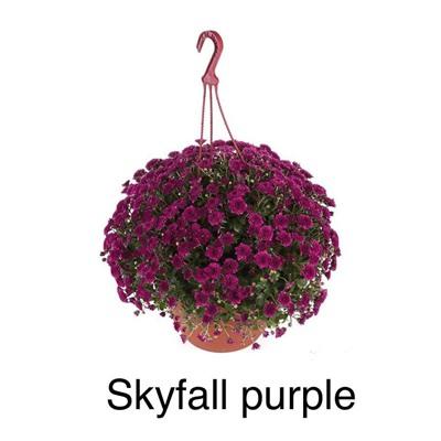 Новинка!!! Хризантема ампельная Skyfall Purple купить, отзывы, фото, доставка - sp-garden.ru cовместные покупки для сада