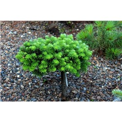 Abies Koreana	Cis (Pa)