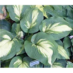 Хоста Хадсон Бей (Hosta Hudson Bay) NEW