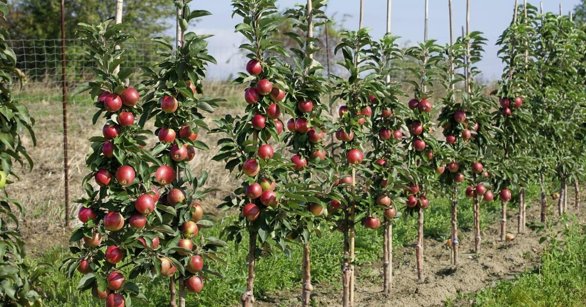 яблони колонны