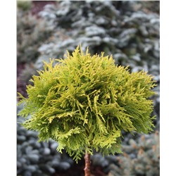 Thuja occidentalis	Mirjam ᴾᴮᴿ (Pa)