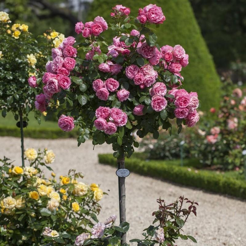 Роза Leonardo da Vinci штамб 60 см
