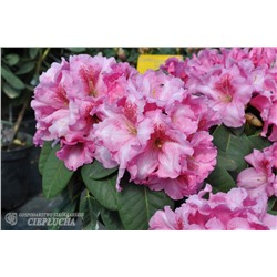 Рододендрон уильямса Клаудиус (Rhododendron williamsianum Claudius)