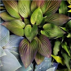 Хоста Фёрст Блаш (Hosta First Blush) NEW