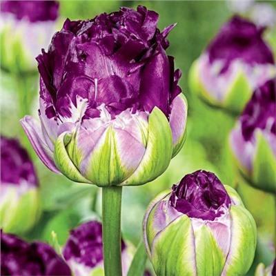 Тюльпан Wow ® 3 шт купить, отзывы, фото, доставка - sp-garden.ru cовместные покупки для сада