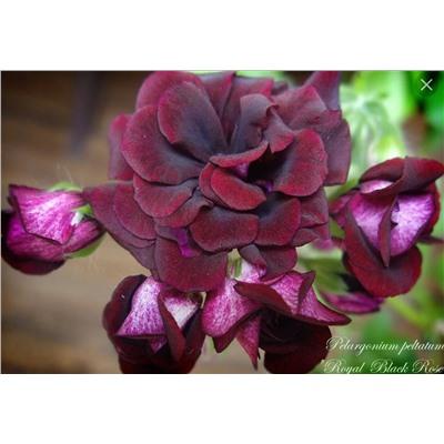 ROYAL BLACK ROSE плющелистная пеларгония купить, отзывы, фото, доставка - sp-garden.ru cовместные покупки для сада