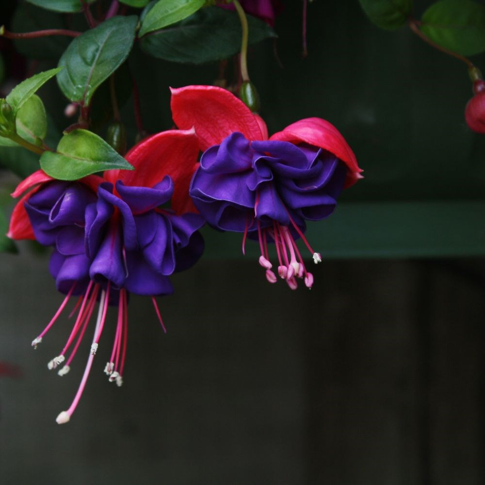 Купить цветок фуксия в москве, роз