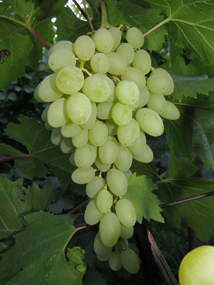 виноград к ш столетие фото описание отзывы главные